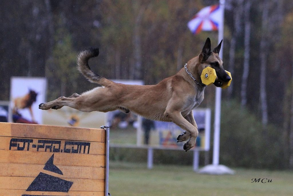 Malinois jumping