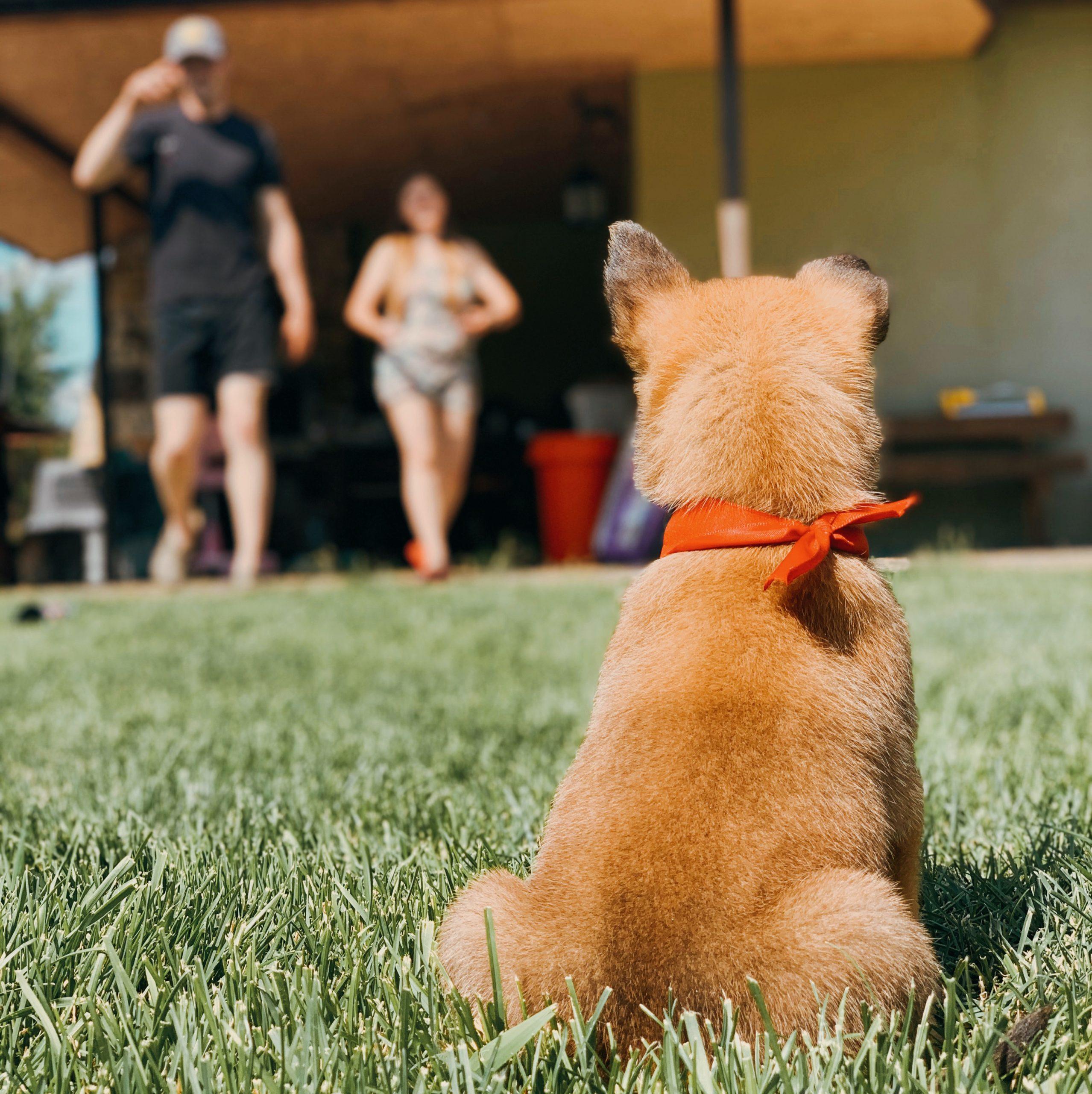 Начальное развитие и социализация щенков малинуа в питомнике